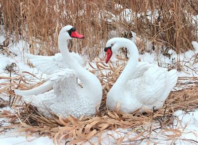 Комплект Лебедь большой + Лебедь средний - фото 5003